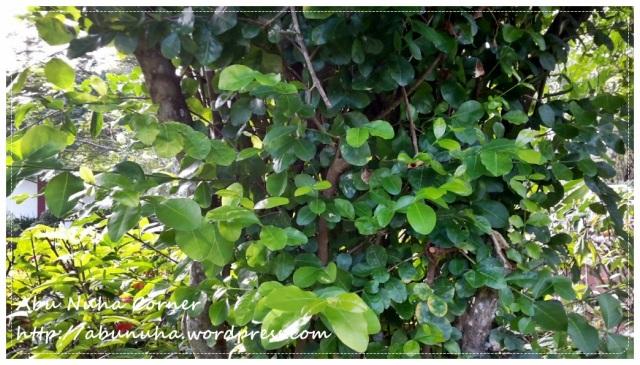 Taman Pertanian Sabah @ Tenom (13)
